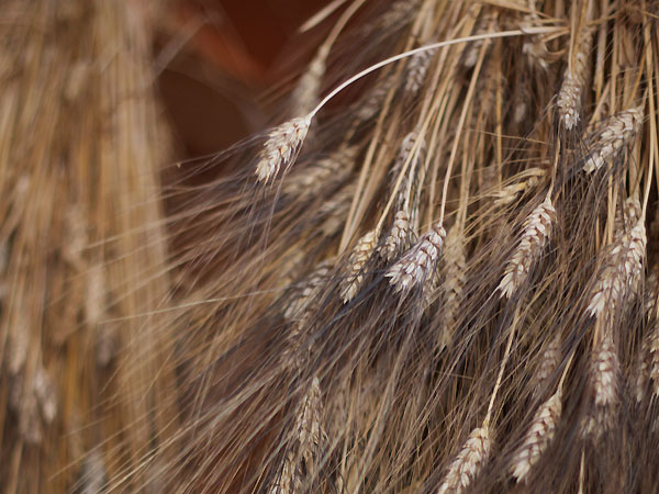 Front Porch Farm: Locally grown wheat in Healdsburg