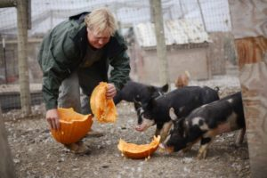 Jason Gooch feeding organic pumpkins to his crossbred Berkshire-Poland China pigs at Wyland Orchards his family owned and operated pastured egg ranch in Petaluma, California. November 14, 2013.  (Photo: Erik Castro/for The Press Democrat)