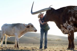 Kristine Beck feeding Rocky, an 8-year-old Longhorn at Twisted Horn Ranch in Bloomfield, California. November 12, 2013.  (Photo: Erik Castro/for The Press Democrat)