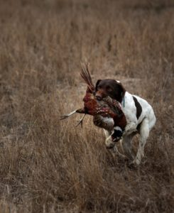Charlie's dog, Bob, returning a downed pheasant. (photo by Chris Hardy)