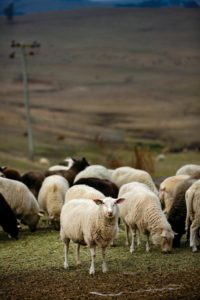 Thornton Ranch sheep, source of milk for Bleating Heart Creamery outside Petaluma. (photo by Chris Hardy)