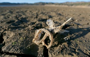 The bones of a fish lie exposed on the dry lakebed at Lake Mendocino. By early February, the lake had shurunk to a depth of just 68.9 feet, barely more than half its maximum level. (Kent Porter / Press Democrat)