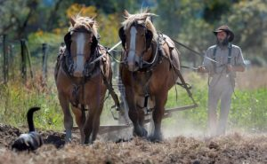 Adam Davidoff works Belgian draft horses Quinna and Misty as they till fertile soil west of Sebastopol at New Family Farm. (photo by Kent Porter)