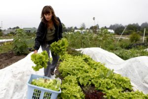 Suzi Grady, the manager of the Bounty Community Farm, harvest heads of lettuce at the farm in Petaluma. (photo by Beth Schlanker)
