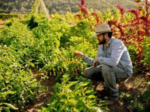 Culinary Institute of America Farm Manager Christian Dake picks an aji limo pepper at the CIA farm at Charles Krug Winery. (Alvin Jornada / The Press Democrat)