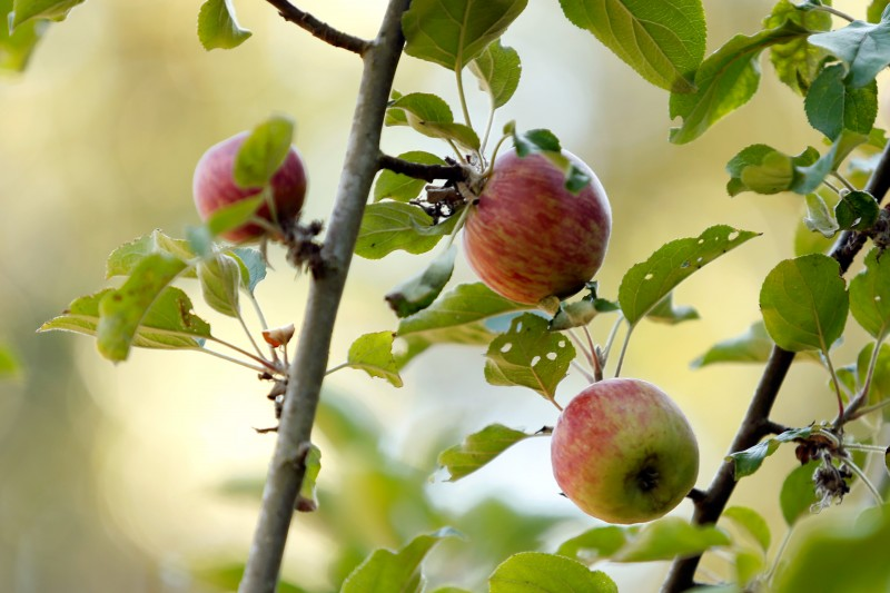 Gravenstein apples on one of the 70-year-old apple trees at Horse and Plow winery in Sebastopol, California on Wednesday, July 27, 2016. (Alvin Jornada