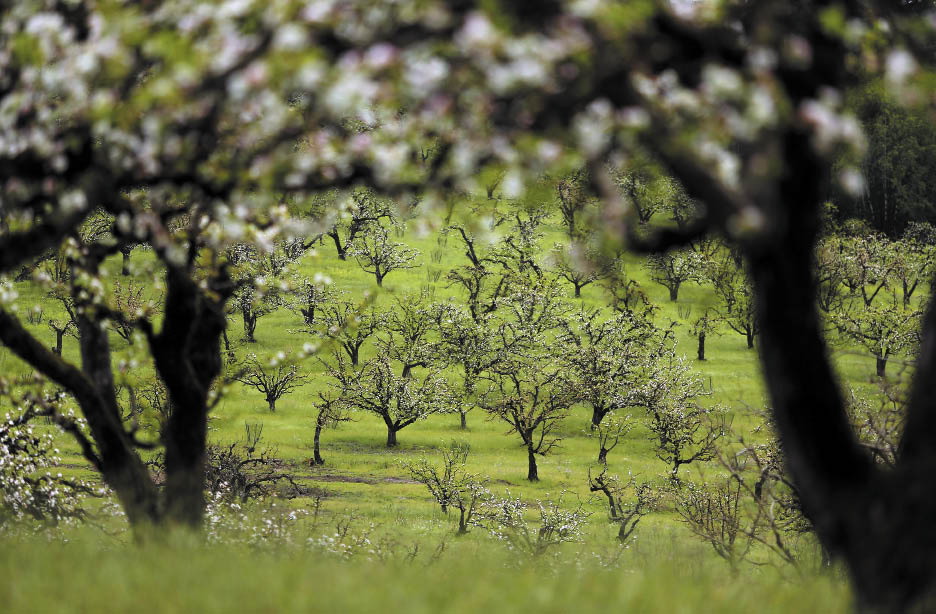 Apple trees blossom in an orchard along Bodega Highway, near Holte Lane, west of Sebastopol on Monday, March 31, 2014. (Christopher Chung