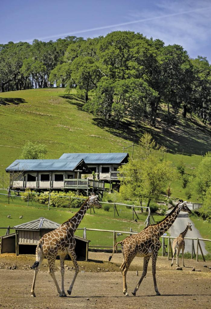 Glamour c&ing tent cabins overlook the giraffe enclosure at Safari West northeast of Santa Rosa. & Be a Happy Camper