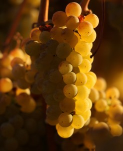 Chardonnay wine grapes bask in the late evening fall sun in a vineyard off Piner Road in Santa Rosa. (photo by Kent Porter)