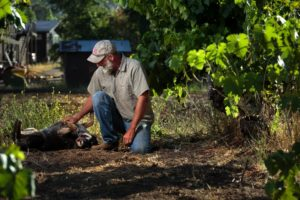 Wiil Bucklin, grape dry farmer in Glen Ellen and Little Girl, his dog.