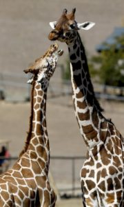 A pair of giraffes interact at Safari West in Santa Rosa. (BETH SCHLANKER/ The Press Democrat)