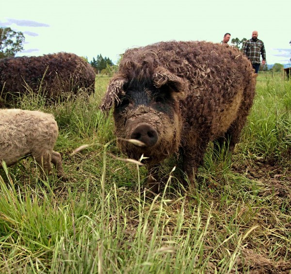 A mangalista pig from Winkler Wooly Pigs in Windsor. Photo from Tim Winkler.