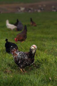 Chickens of Annika's Eggs at Moreda Family Farms in Petaluma.