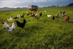 The chickens of Annika's Eggs at the Moreda Family Farms are housed in an RV that is moved around a big field in the middle of the valley.