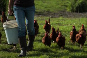 Chickens follow Dawn Dolcini as she carries a bucket of feed.