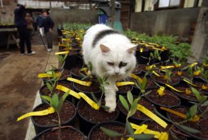 Potted olive starts at McEvoy Ranch will someday yield fruit. The family cat is attempting to help the process.