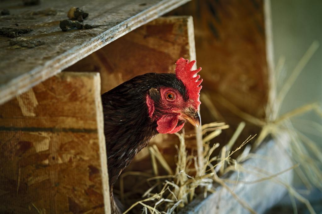 Egg Layers Petaluma Chicken Breeds