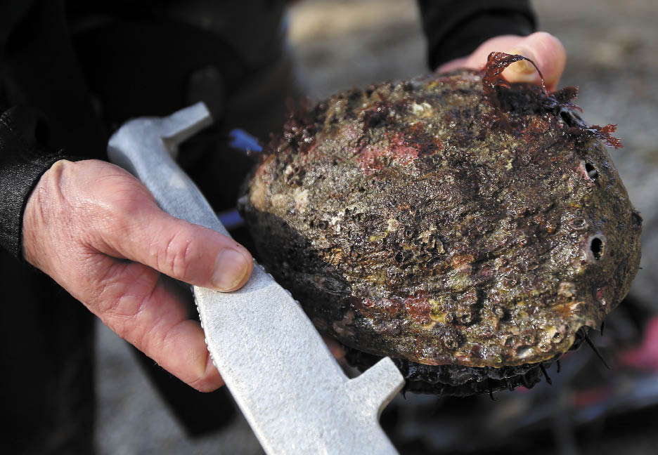 Red abalone must be at least 7 inches to be legally harvested.