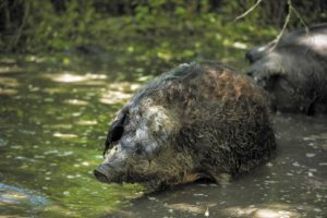 The pigs are vigorous weeders who love water and can clear an overgrown pond in no time.