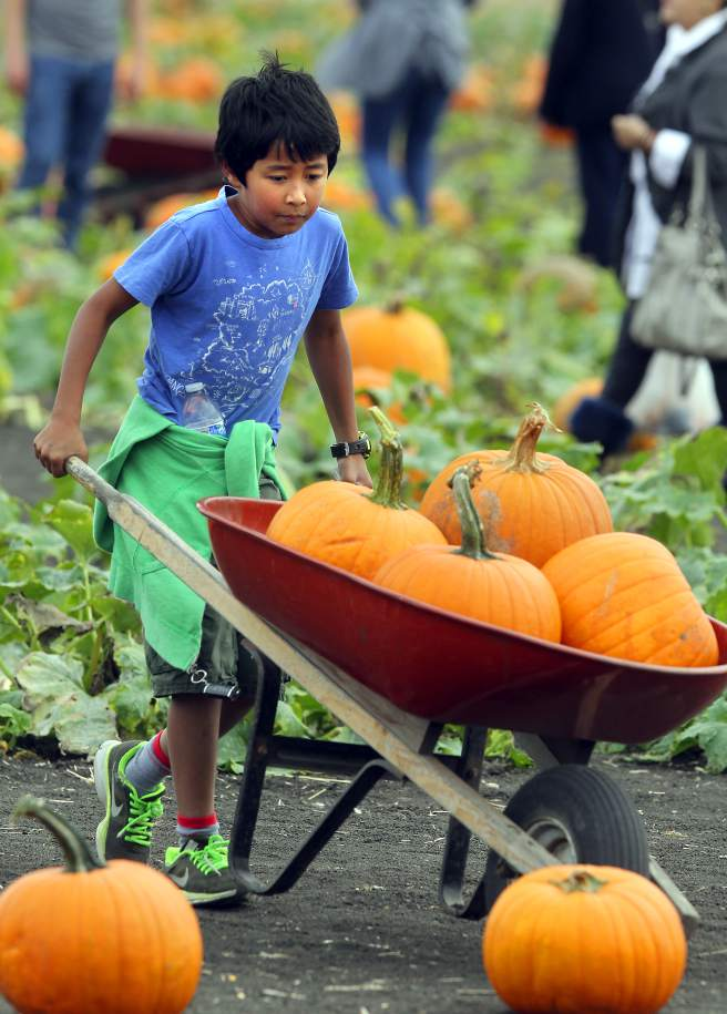 Anthony Calvillo, 7, tries to pick up a pumpkin too heavy for him to walk with at the Great Peter Pumpkin Patch at the Spring Hill Dairy in Petaluma, California, on Thursday, Oct. 2, 2014. (Beth Schlanker / The Press Democrat)