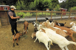 In addition to vegetables, herbs and fruit, Jorge Saldana raises goats and chickens at his Sabor Mexicana Farm in Guerneville.