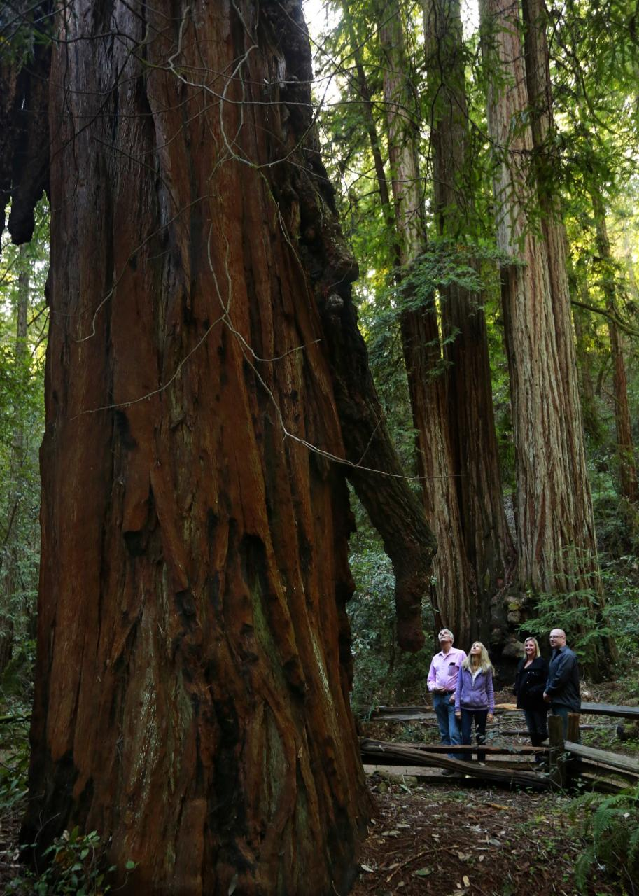 "From left: Corinne and Dan Kenner of Forestville brought friends Amber Lavaud and Joshua Foster on a hike past the Icicle Tree in Armstrong Redwoods State Natural Reserve on Tuesday. The tree once held numerous ""icicle"" burls, like the one at right, but poachers stole many others that adorned the tree over the years. (Photo by John Burgess/The Press Democrat)"