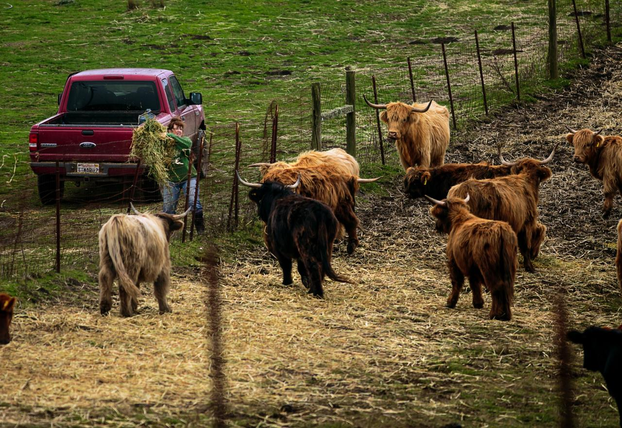 Salmon Creek Ranch, a working ranch with a treehouse that will soon be rented out. Lesley Brabyn feeding the cattle. (Chris Hardy)