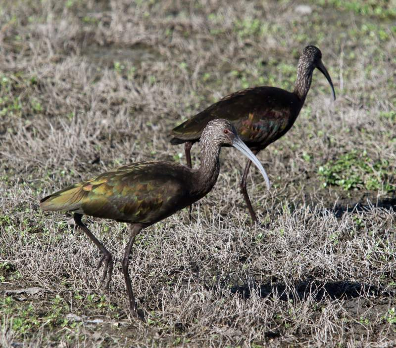 Two White-faced Ibis at the Ellis Creek marshland in Petaluma on Monday, February 29, 2016. (SCOTT MANCHESTER/ARGUS-COURIER STAFF)