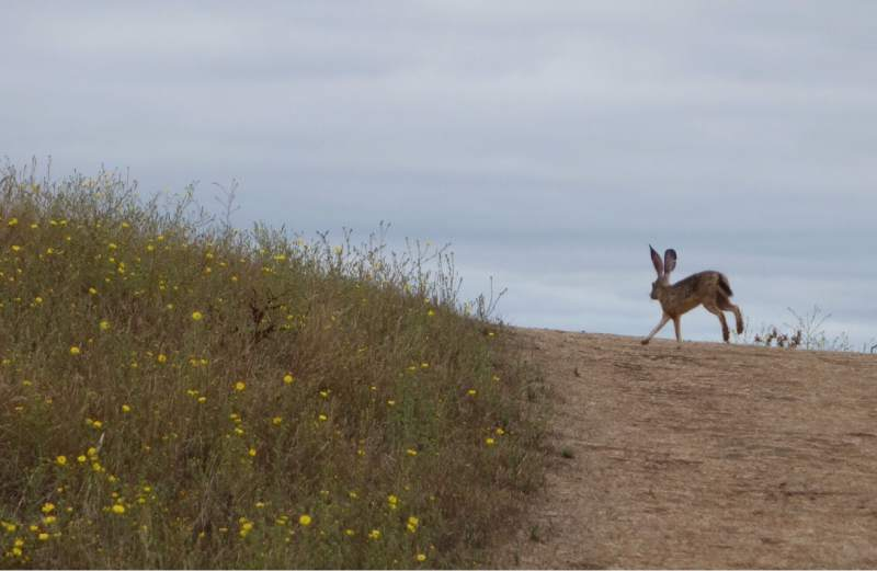 A jackrabbit lopes along the Easter Route on Taylor Mountain. (Bruce Baird / The Press Democrat)