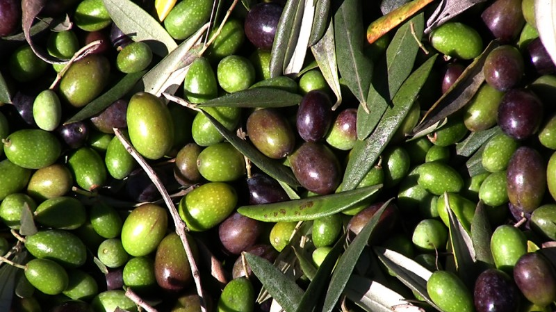 Olives from the DaVero orchard