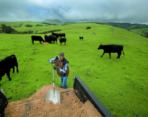 Rancher Ted McIsaac, 65, feeds cattle on land he leases in Point Reyes from the National Park Service. His family settled on the peninsula in 1865, and McIsaac sold the land to the federal government in 1983. Photgtaphy by Kent Porter.