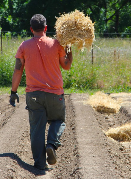 Carrying hay at Single Thread Farms in Healdsburg. Heather Irwin.