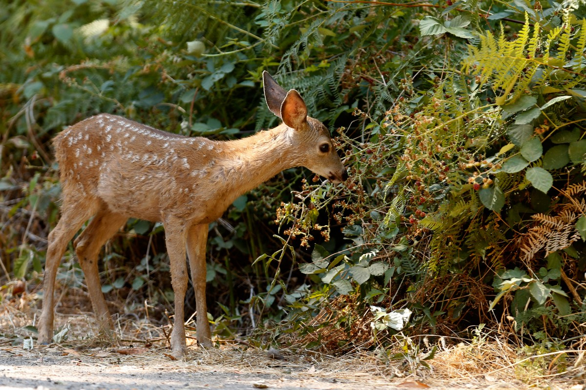 A fawn grazes on a blackberry bush at Annadel State Park in Santa Rosa. (Photo by Alvin Jornada)