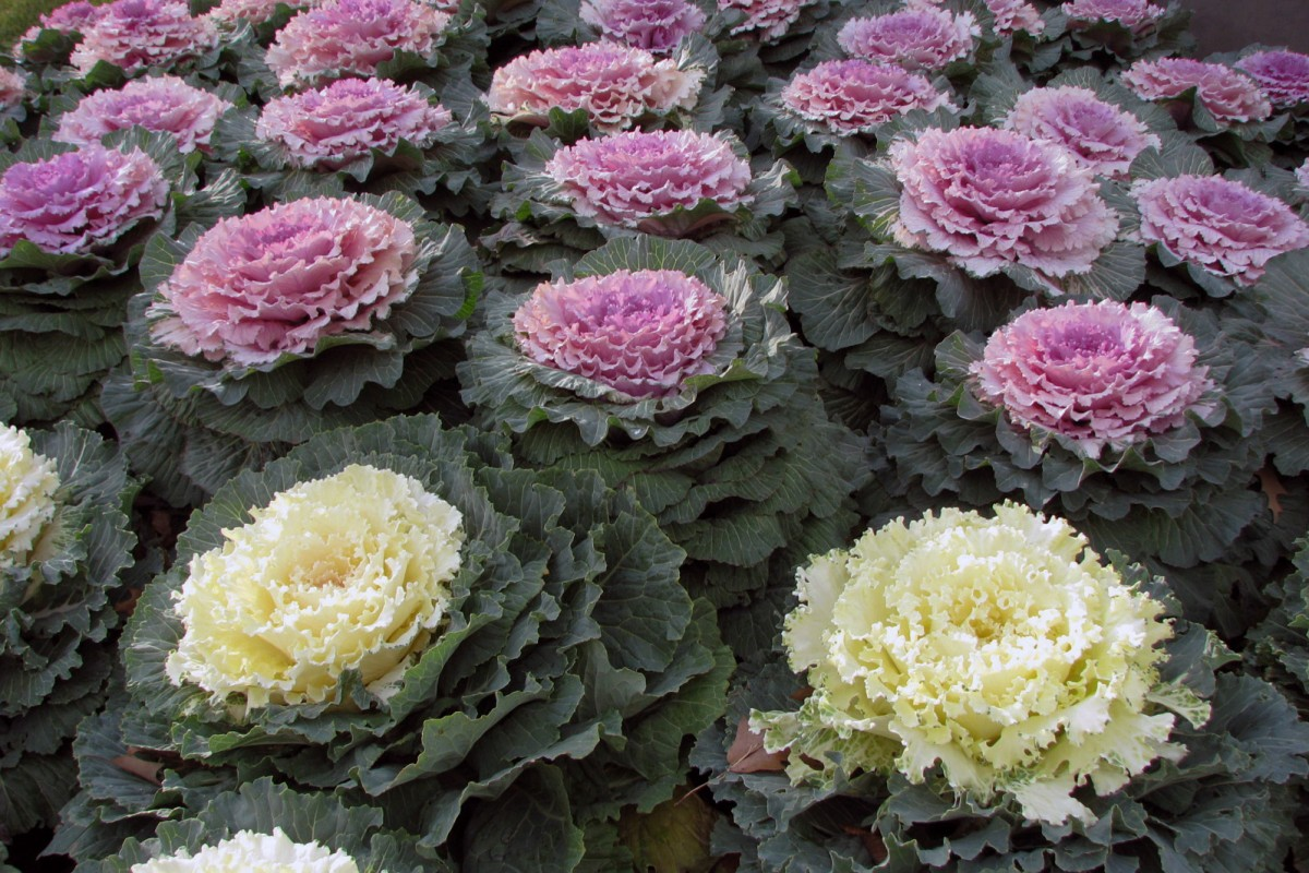 Ornamental_Kale