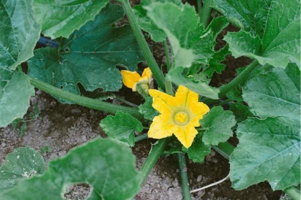 Squash blossom, Dawn Heumann