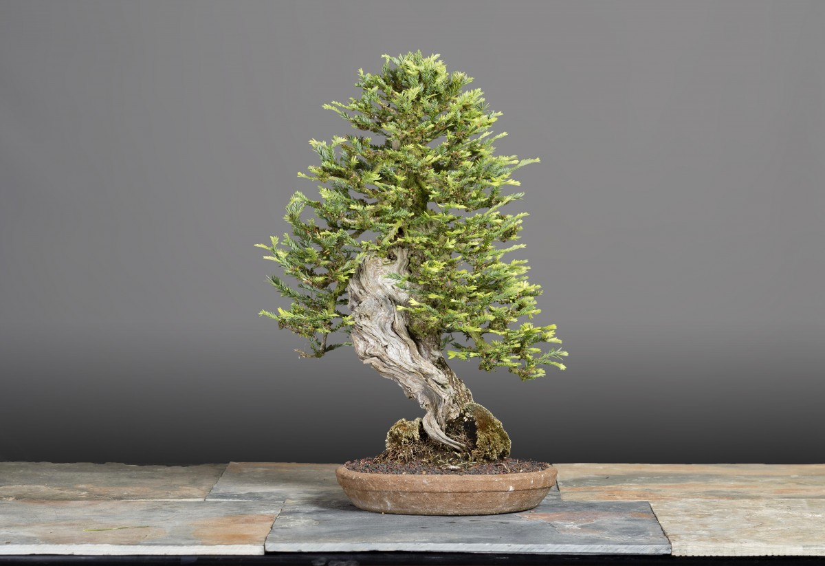 This Redwood Bonsai will be exhibited at the 33rd Bonsai Show in Santa Rosa on Aug 20-21. (Photo by Don Van Dyke)