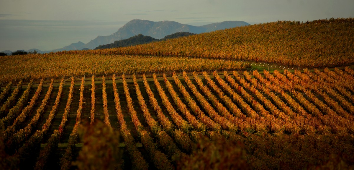 Sonoma County fall vineyard. (Photo by Kent Porter)