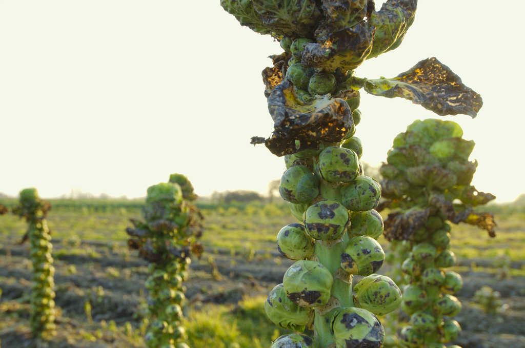 Brussels sprouts ready to harvest.