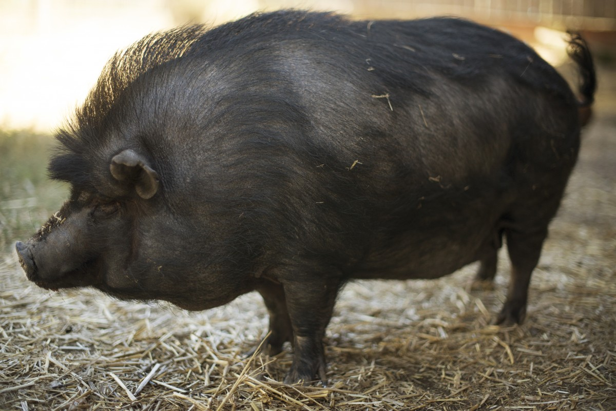 """The potbelly pig known as """"Lucky Precious Piggy Pop Nugget"""" at the home of John Stewart and Duskie Estes in Forestville, California. June 18, 2016. (Photo: Erik Castro/for Sonoma Magazine)"""