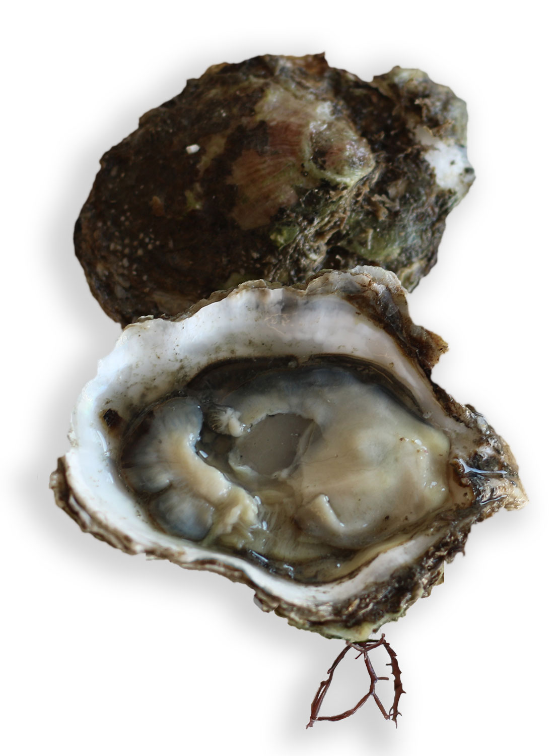 eastern oyster drawing - photo #43