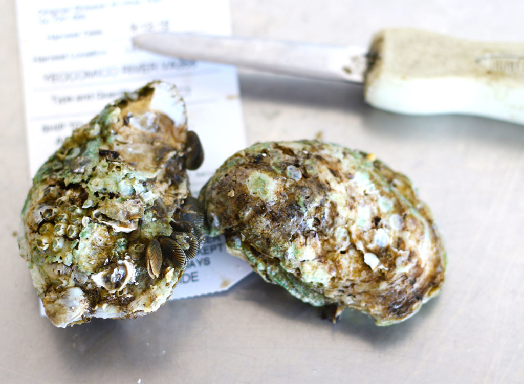 Oysters 101: Oysters with a shucking knife at Santa Rosa Seafood. Heather Irwin/PD