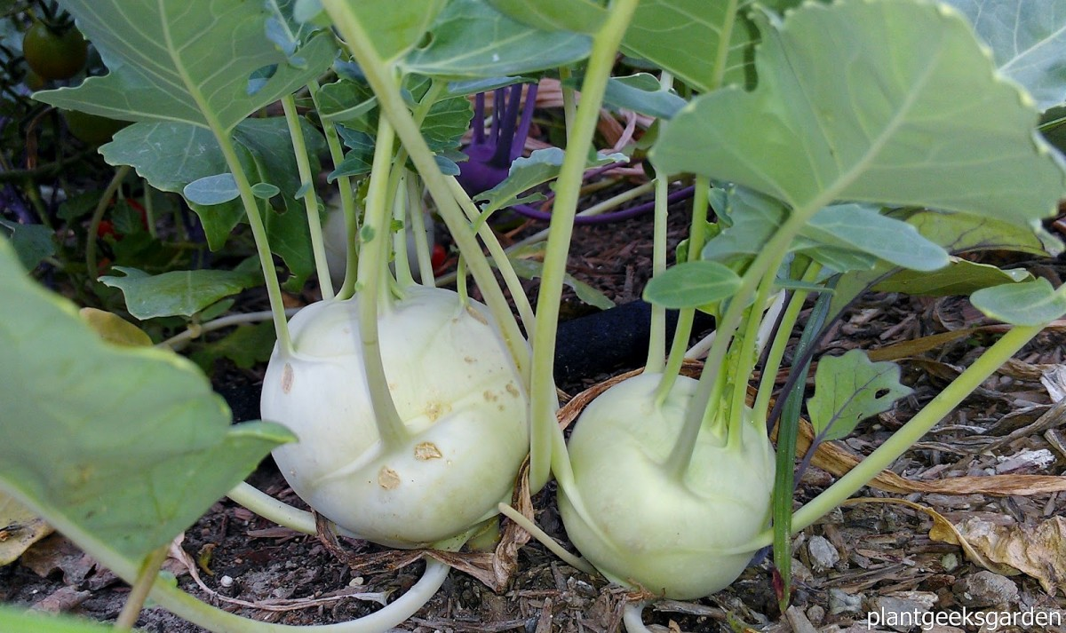 Kohlrabi ready for harvest.