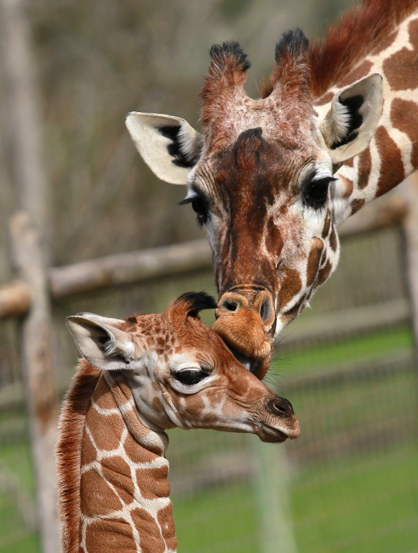 Safari West giraffe love. (Photo by John Burgess)
