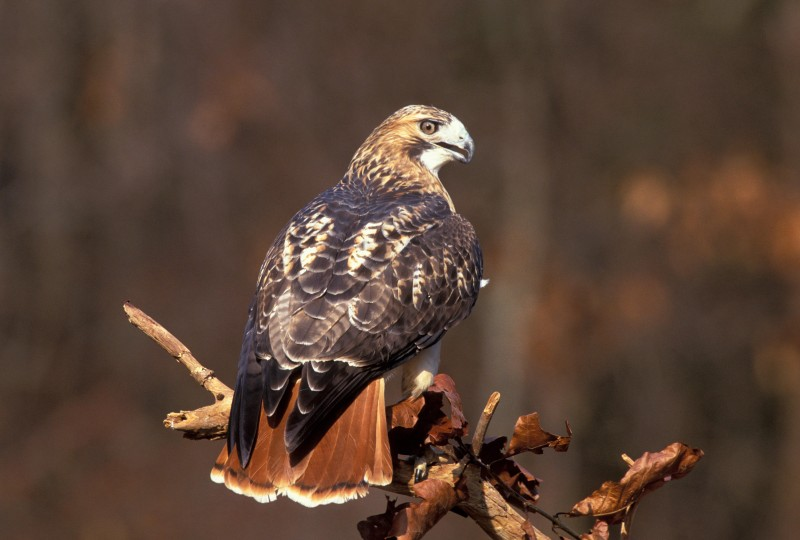 Red-tailed hawk. (Photo courtesy of Tom Vezo/Vireo)