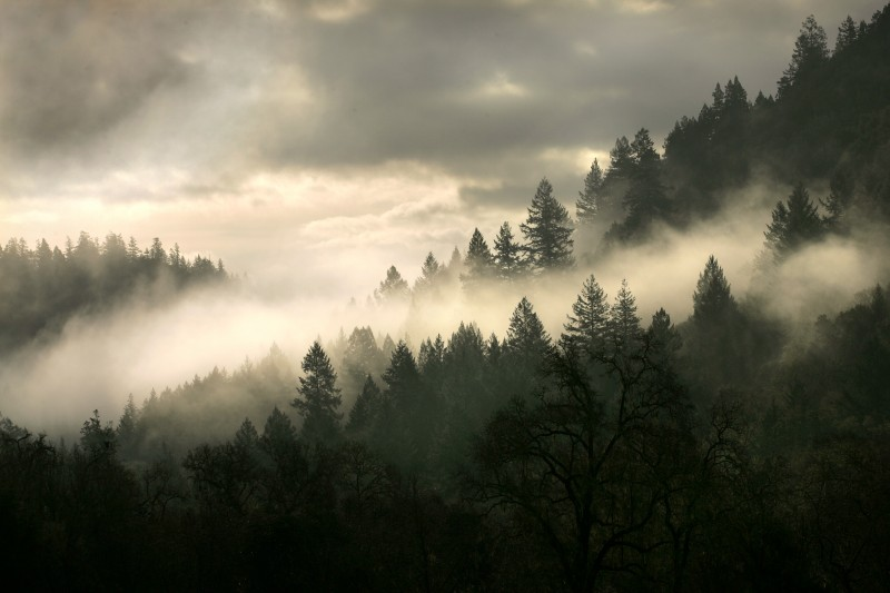 Fog rests in the fir and oak trees along the Mayacamas range between the Napa and Sonoma valleys. John Burgess
