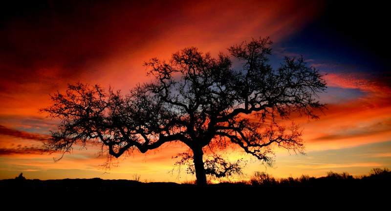 In Windsor, Thursday Feb. 11, 2016 a late winter sunrise paints the sky over a valley oak. (Kent Porter)