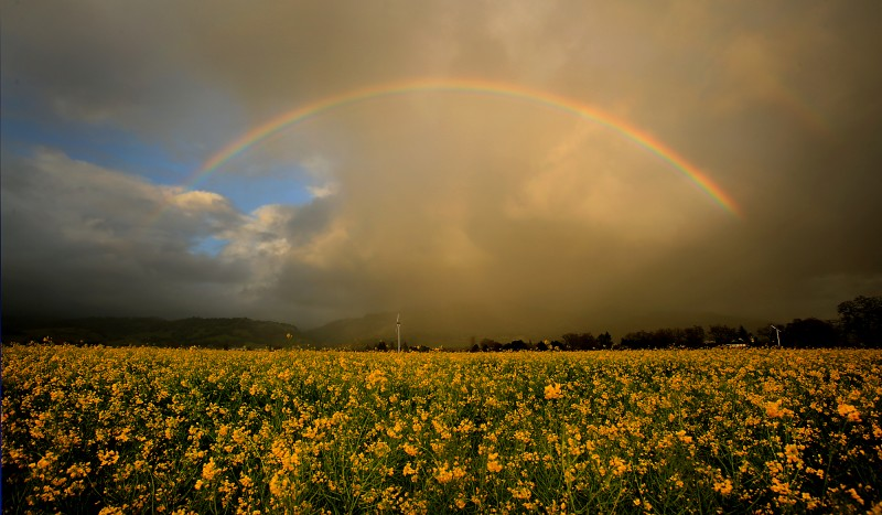 A late winter storm provides theatrics over a field of mustard in the Alexander Valley, Thursday Feb. 18, 2016. (Kent Porter