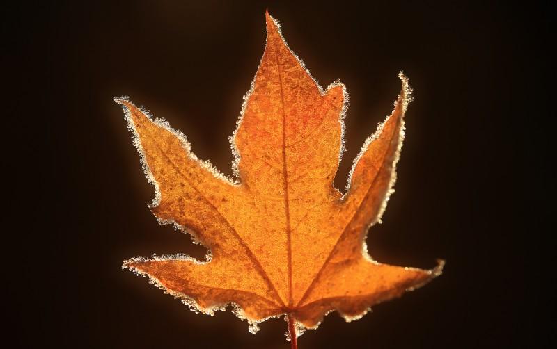 A frozen maple leaf, Monday Dec. 19, 2016 in Windsor. (Kent Porter)