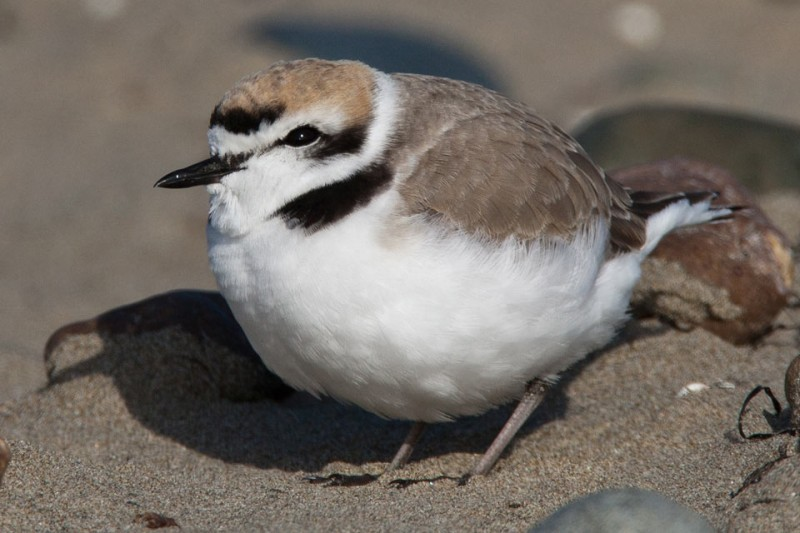 Western Snowy Plover. (Photo courtesy of National Park Services)