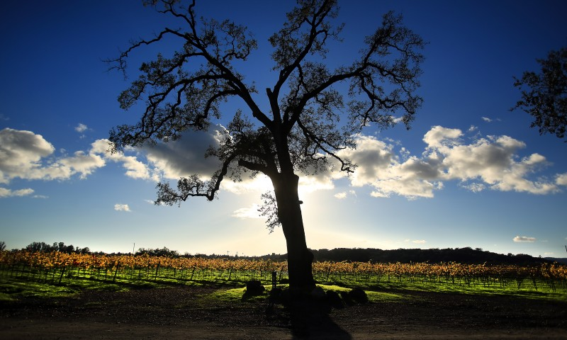 An old oak tree towers over Chardonnay and Pinot Gris vines at La Crema. (Kent Porter)